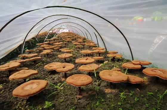 基地内的龙泉段木赤灵芝。